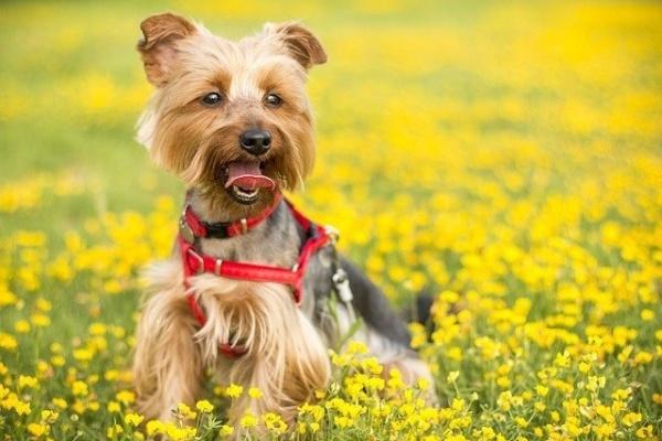 Terrior puppy in flower field