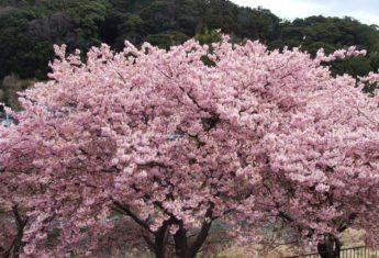 Shizuoka Sakura
