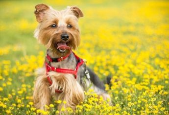 Terrior puppy in flower field