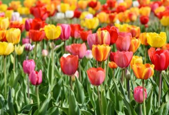 Tulips Pixabay