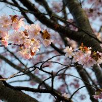 ニセコの桜