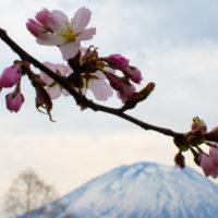 雪が残る羊蹄山と桜