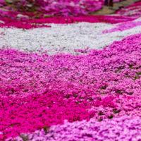 三島邸芝桜ガーデン