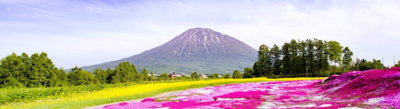 芝桜(倶知安町)