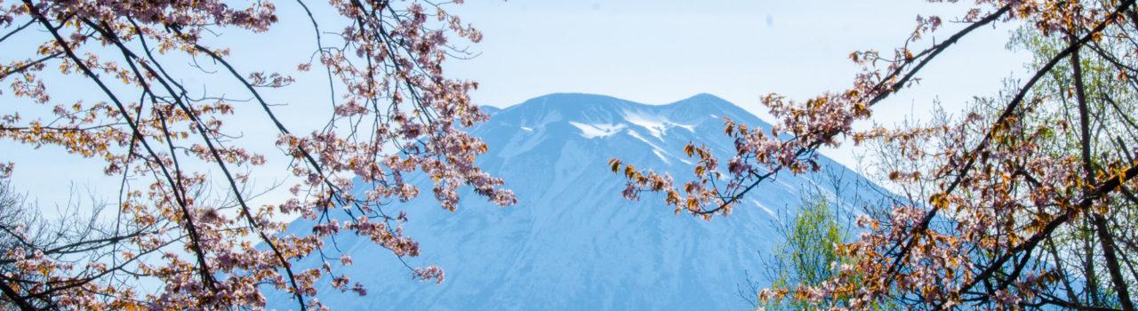 名峰羊蹄山と桜