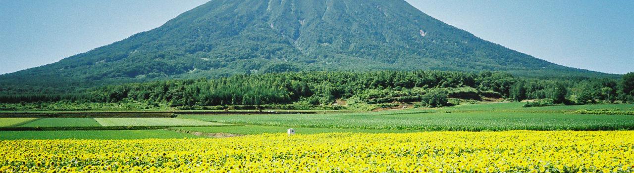 Summer Yotei Sunflowers Farmland
