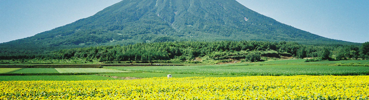 Summer Yotei Sunflowers Farmland