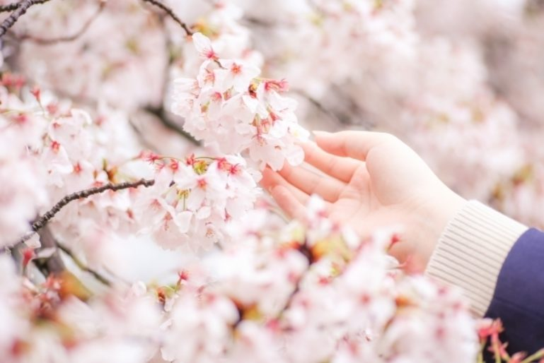 Cherry Blossom Touch