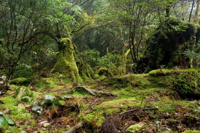 Forest in Yakushima 51 635 423