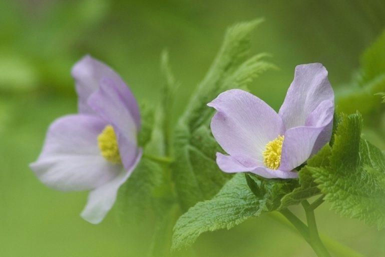 Shirane Aoi Flowers