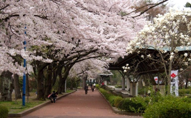 Tsutsujigaoka Park in the cherry blossom season 635 393