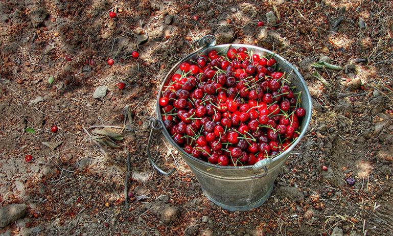 cherry-picking-wikimedia-commons