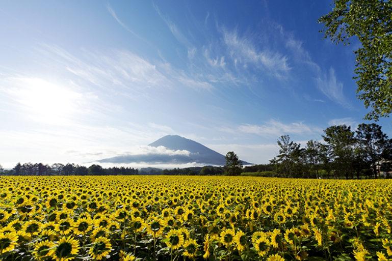 yotei-sunflowers