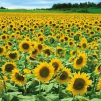 Furano Sunflower
