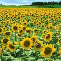 Furano Sunflower