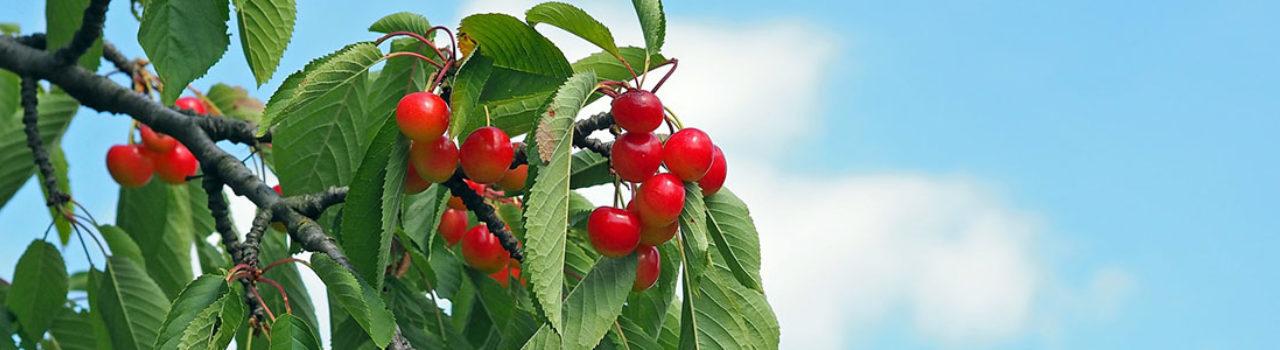 Cherry Hero
